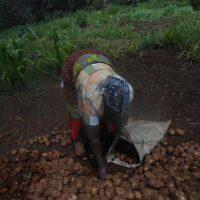 Kenia – Kartoffelernte