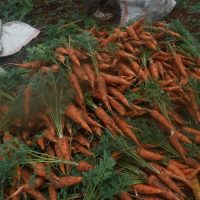 Kenia – Karottenernte